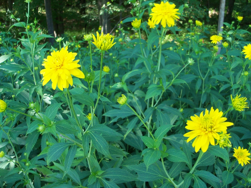Perennial flower id plantdoc perennial flower id mightylinksfo