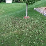 Ash tree losing leaves suspicious of EAB