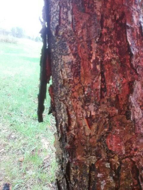 Apple Tree Has Bark Falling Off Plantdoc