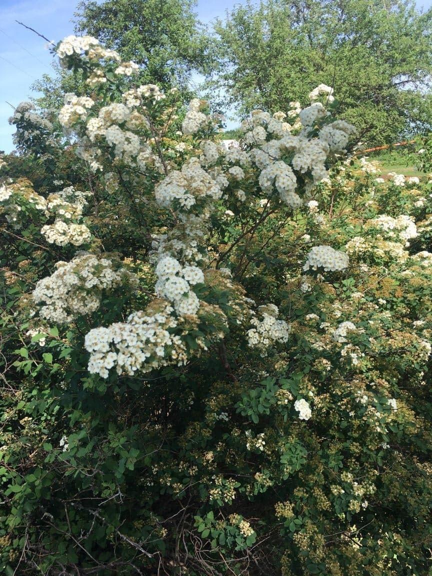 Shrub id plantdoc whole shrub mightylinksfo
