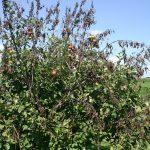 Wealthy apple tree losing its leaves